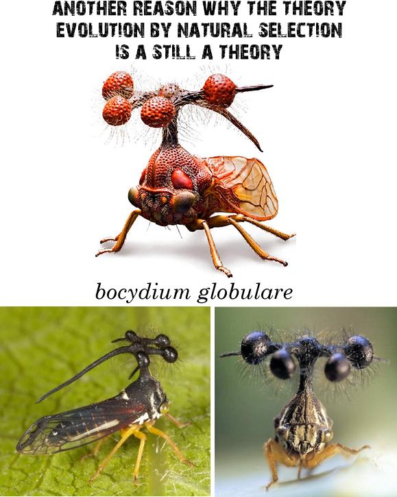 Bocydium globulare